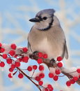 Winter Bluejay At Red Berries Stock Photos - 28979183