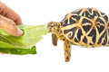 Indian Starred Tortoise Eating Vegetable Stock Photo - 28981940