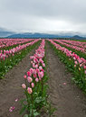 Large Pink Tulip Field Stock Photos - 28982733