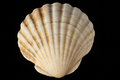 Seashell Royalty Free Stock Photos - 28994118