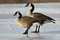 Pair Of Canada Geese Stock Photo - 28995490