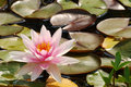 Water Lily Royalty Free Stock Image - 2909226