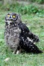 Spotted Eagle Owl Royalty Free Stock Image - 2909736