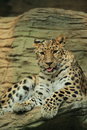 Amur Leopard Royalty Free Stock Images - 29002519