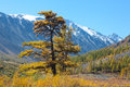 Yellow Larch Stock Image - 29004921