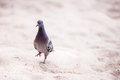 Pigeon Walking On Sand Royalty Free Stock Photography - 29009017