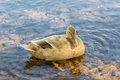 Duck In Water Royalty Free Stock Photo - 29012345