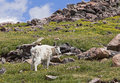 Rocky Mountain Goat In Mountains Royalty Free Stock Photo - 29029375