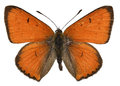 Isolated Large Copper Butterfly Stock Photography - 29031312
