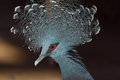 Victoria Crowned Pigeon Royalty Free Stock Image - 29037556