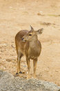 The Portrait Of Hog Deer Stock Photos - 29039253