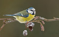 Blue Tit On A Winter Twig Royalty Free Stock Photos - 29048968