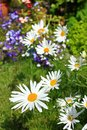Beautiful Marguerite Flowers Royalty Free Stock Photo - 29051465
