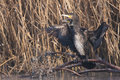 Great Cormorant In Winter Royalty Free Stock Photography - 29052357