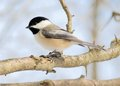 Black-capped Chickadee Stock Photos - 29057223