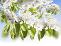 Pear  Blossom Stock Images - 29057844