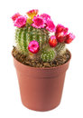Flowering Cactus Royalty Free Stock Images - 29067179
