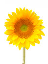 Sun Flower Stock Image - 29073211