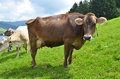 Swiss Cows Stock Photography - 29073272
