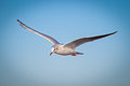 Seagull Stock Photo - 29077260