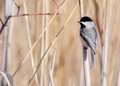 Black-capped Chickadee Stock Photo - 29084730
