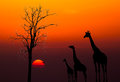 Silhouettes Of Giraffes Against Sunset Background Royalty Free Stock Photos - 29101788