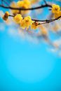 Yellow Plum Blossom In Winte Royalty Free Stock Photos - 29103308