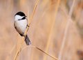 Black-capped Chickadee Royalty Free Stock Photography - 29113317