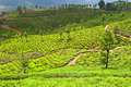Tea Plantation Stock Photos - 29117943