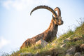 Alpine Ibex Stock Photo - 29128030