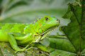 Green Iguana Royalty Free Stock Photography - 29129187