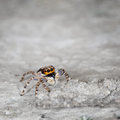 Salticidae - Small Spider On Grey Stone Close Up Stock Images - 29129984