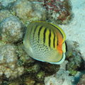 Spot-banded Butterflyfish Stock Image - 29149111