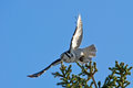 Northern Hawk Owl (Surnia Ulula), Flying With Its Capture Stock Images - 29163714