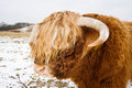 Highland Bull With Ring In Nose Royalty Free Stock Image - 29184936