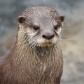 Small-clawed Otter Portrait Royalty Free Stock Photos - 29200368