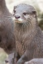 Small-clawed Otter Vertical Royalty Free Stock Photos - 29200578