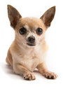 Cute Chihuahua Isolated On White Background Stock Photo - 29223520