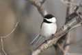 Black-capped Chickadee Royalty Free Stock Image - 29249566