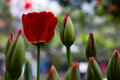 Red Tulip Stock Images - 29251864