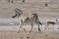 Zebra Running, Etosha, Namibia Royalty Free Stock Photo - 29254955