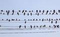 Flock Of Pigeons On Wires. Yangon. Myanmar. Royalty Free Stock Images - 29266989