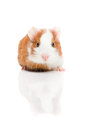 Red And White Guinea Pig On White Background Royalty Free Stock Images - 29292599