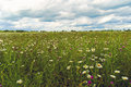 Field Of Daisies Royalty Free Stock Image - 29294216