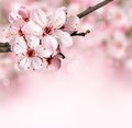 Spring Border Background With Pink Blossom Stock Photos - 29314043