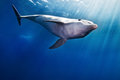 Dolphin Royalty Free Stock Image - 29315586