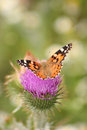 Painted Lady Butterfly Stock Photo - 29323610
