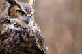 Great Horned Owl Royalty Free Stock Photos - 29351488