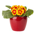 Primula Flower In Red Pot Royalty Free Stock Photos - 29354668