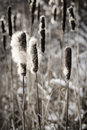 Cattails In Winter Stock Image - 29381041